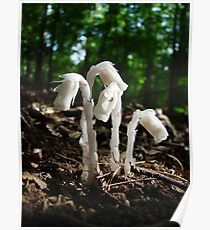 Indian Pipes In The Forest Poster