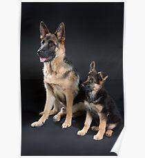 German Shepherd Pups Poster