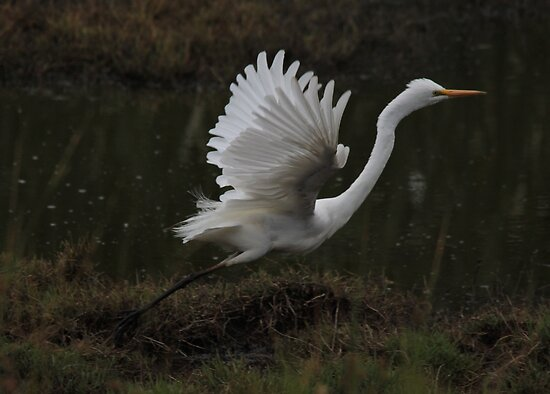 Egret Displaying Angel Wings by Kym Bradley