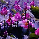Lotus Pond by Gabrielle  Lees