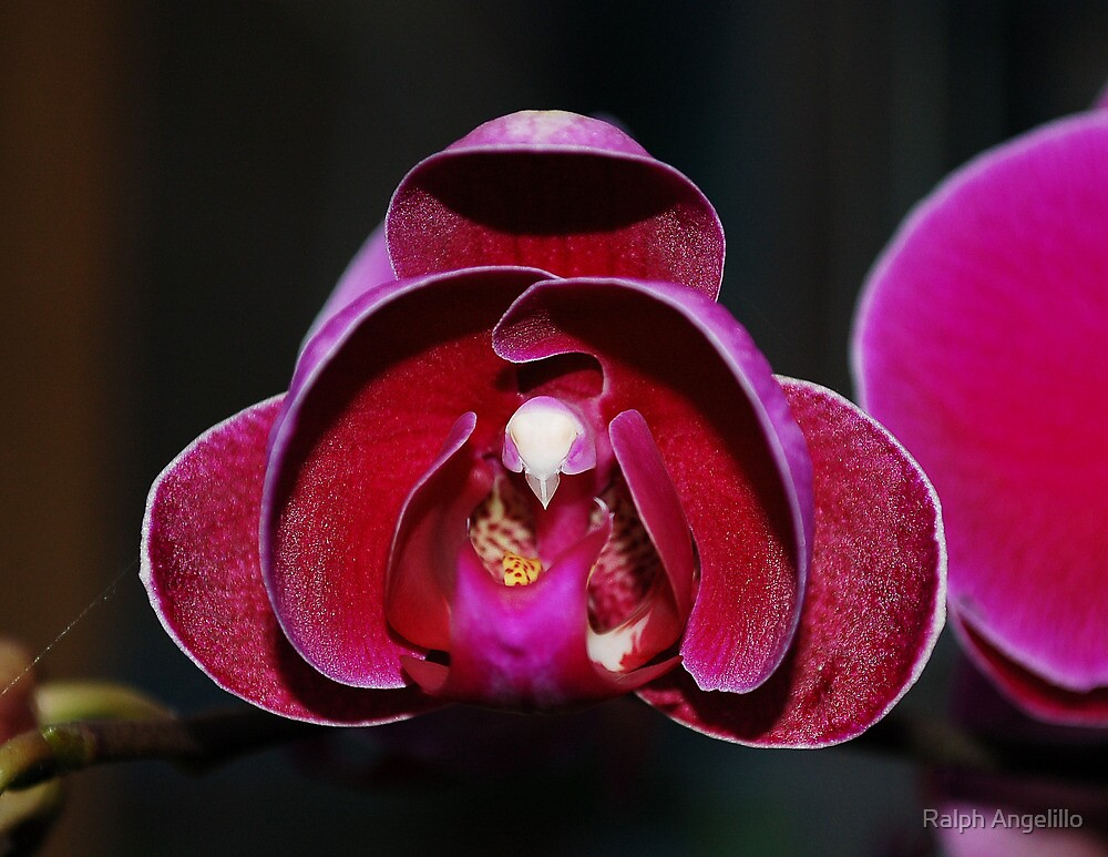 Intense orchid by Ralph Angelillo