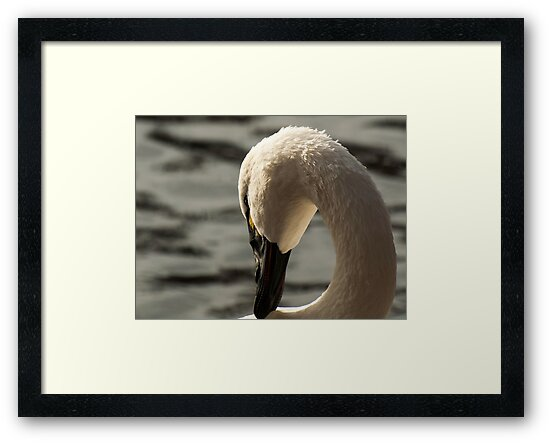 Tundra Swan 2 by Thomas Young