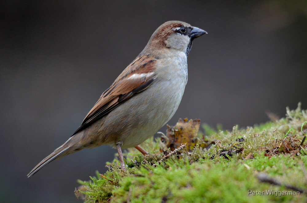 """Ordinary"" house sparrow by Peter Wiggerman"