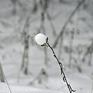 Snow Pop by metronomad