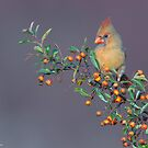 Female Northern Cardinal and berries by (Tallow) Dave  Van de Laar