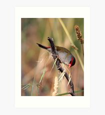 Red Browed  Firetail finch Art Print