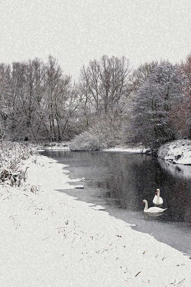Swans in the snow by Gary Eason