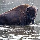 Wet Bison Contestant by Ken McElroy
