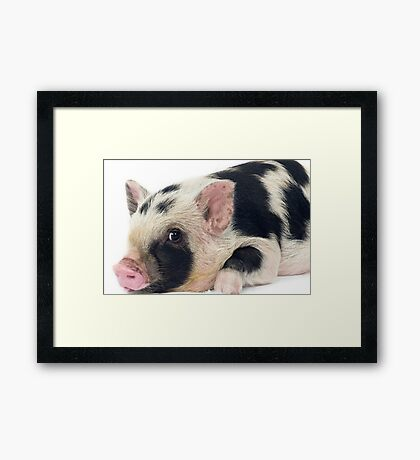 Spotty Micro pig chilling Framed Print