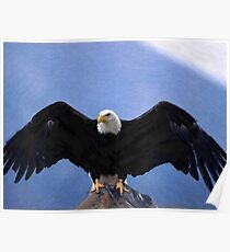 Bald eagle wingspan  Poster