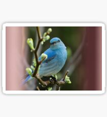 Bluebird Portrait #1 Sticker