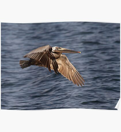 Brown Pelican In Flight Poster