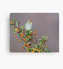 Female White-Crowned Sparrow on Firethorn Canvas Print