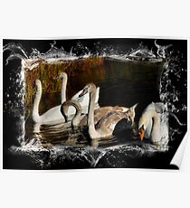 Brown and White Cygnets Poster