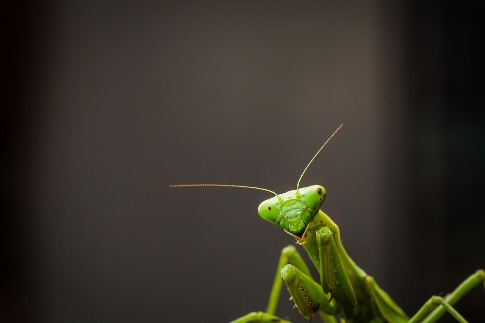Praying Mantis by Edmond Leung