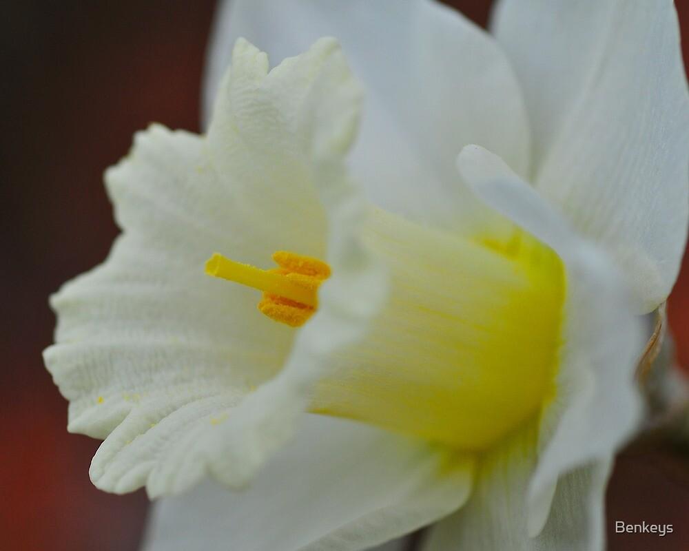Daffodil by Benkeys