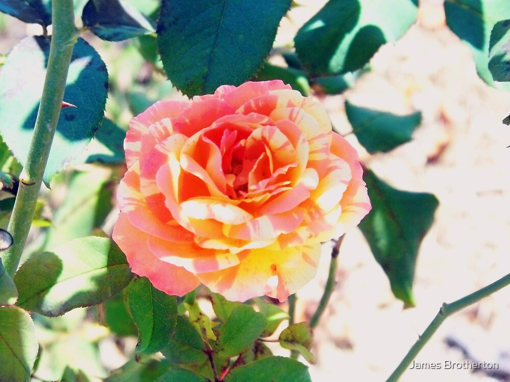 Intuition Rose by James Brotherton