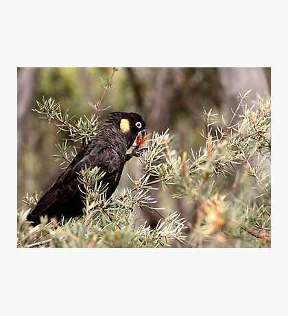 Yellow Tailed Black Cockatoo (Male) Photographic Print