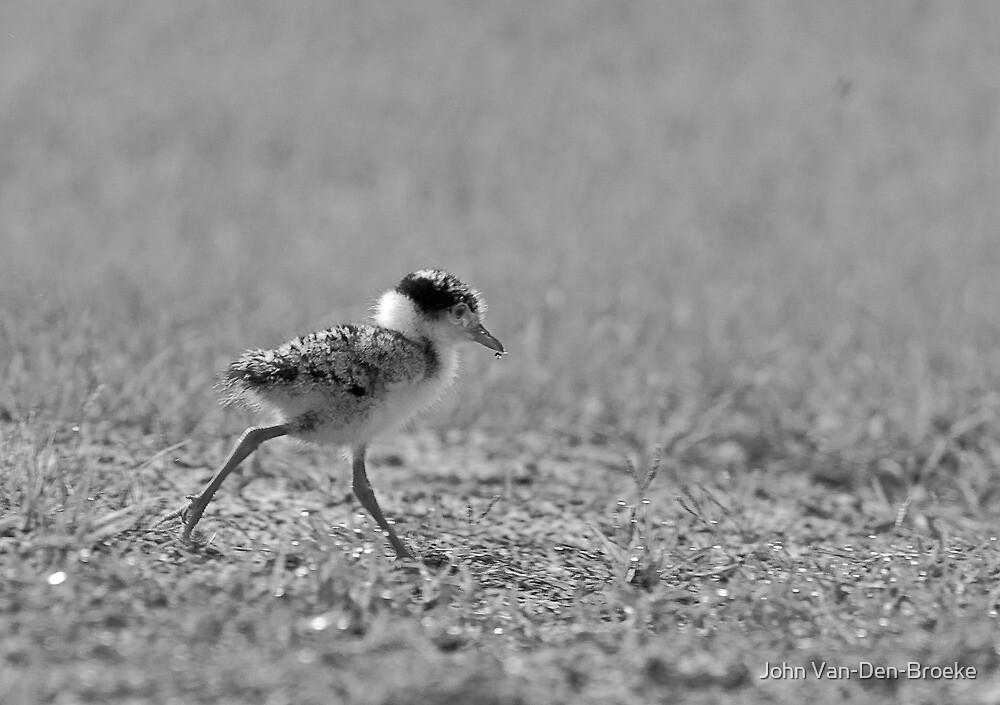 Spurwinged  Plover  Chick  7 by John Van-Den-Broeke