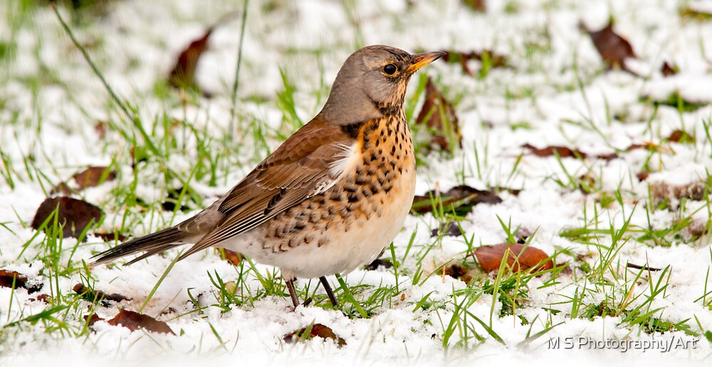 Winter Fieldfare by M S Photography/Art