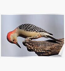 Curious Red Bellied Woodpecker Poster