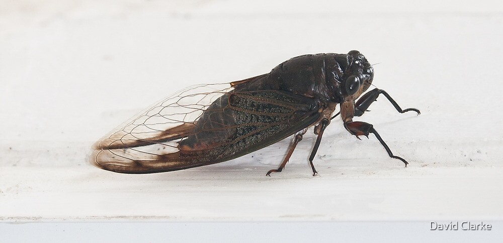 Cicada - the noisiest bug in the insect world by David Clarke