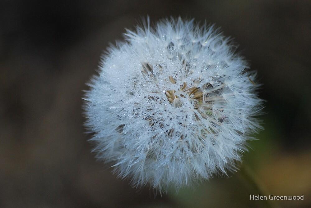 Frosty Dandelion by Helen Greenwood
