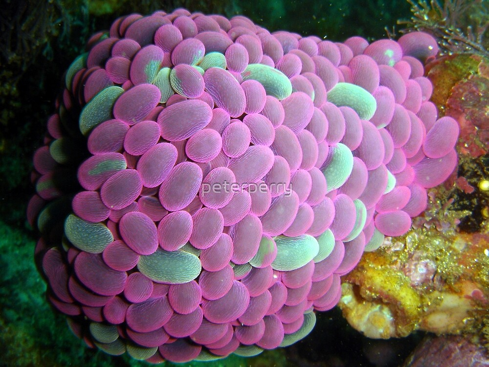 Living Anenome by peterperry