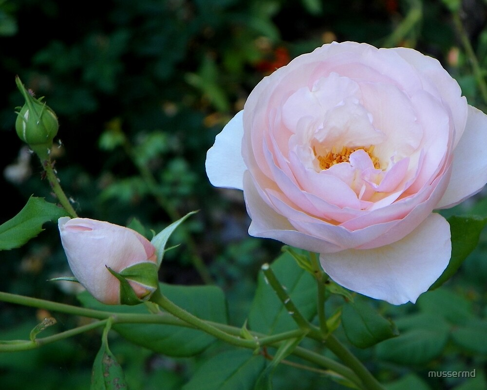 Roses - Stages of Blooms by mussermd