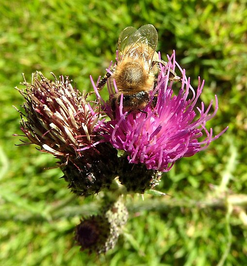 Thistle Bee by PierPhotography