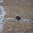 Eagle Posing Awesome by Tammy Rooker