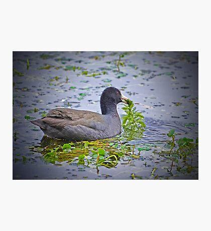 Great American Coot Enjoy Christmas Morning Breakfast Photographic Print