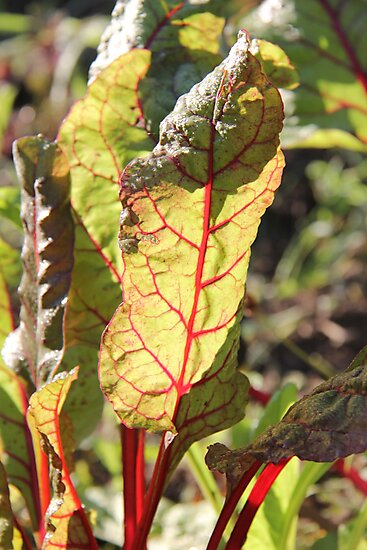 Swiss Chard in the morning light  by Rich Fletcher