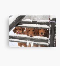 Trio Of Goofy Golden Retrievers Canvas Print