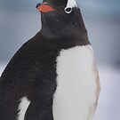 Penguin 004 by Karl David Hill