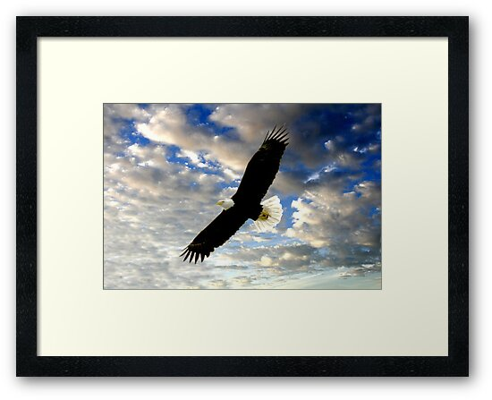 BALD EAGLE IN FLIGHT by TomBaumker