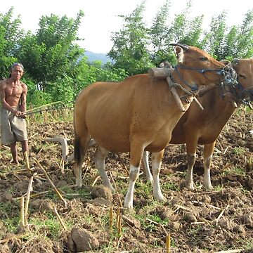 Farmer ploughing his field, Pemuteran, Bali, Indonesia by Maurits