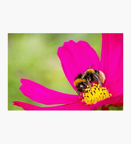 Collecting Pollen Photographic Print