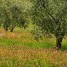 Olive Trees in Tuscany by vivsworld