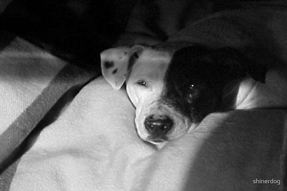 Shiner Dog~Pit Bull Mix by shinerdog
