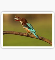White-throated kingfisher with a fish in its beak Sticker
