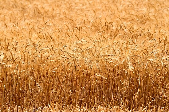 Wheat Field ready for harvest by PhotoStock-Isra