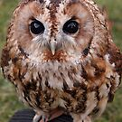 Tawny Owl by Nick Barker