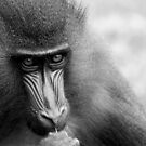 Mandrill by Colin Shepherd