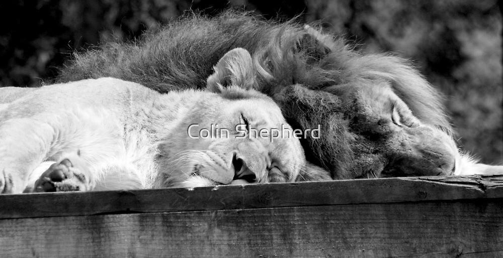 'Lion Around' by Colin Shepherd