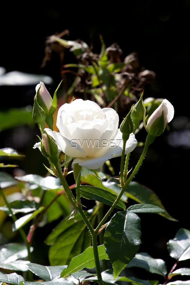 White rose in the sun. by SVW1967