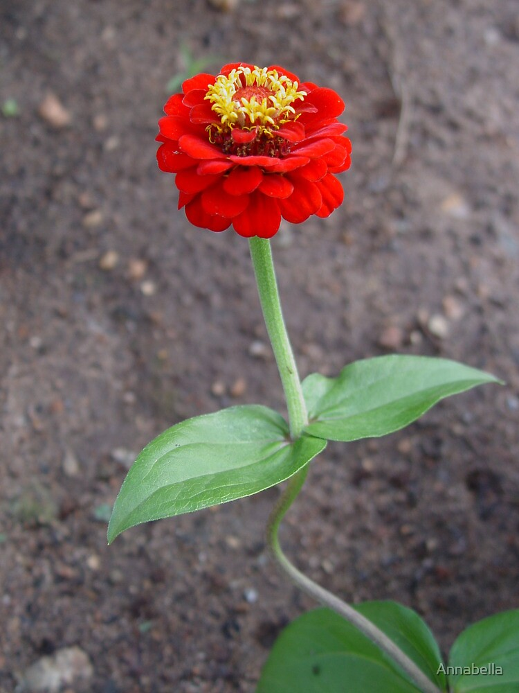 Red Zinnia by Annabella