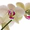 orchids against white background