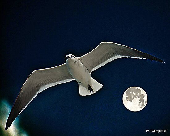 Seagull in Flight by Phil Campus