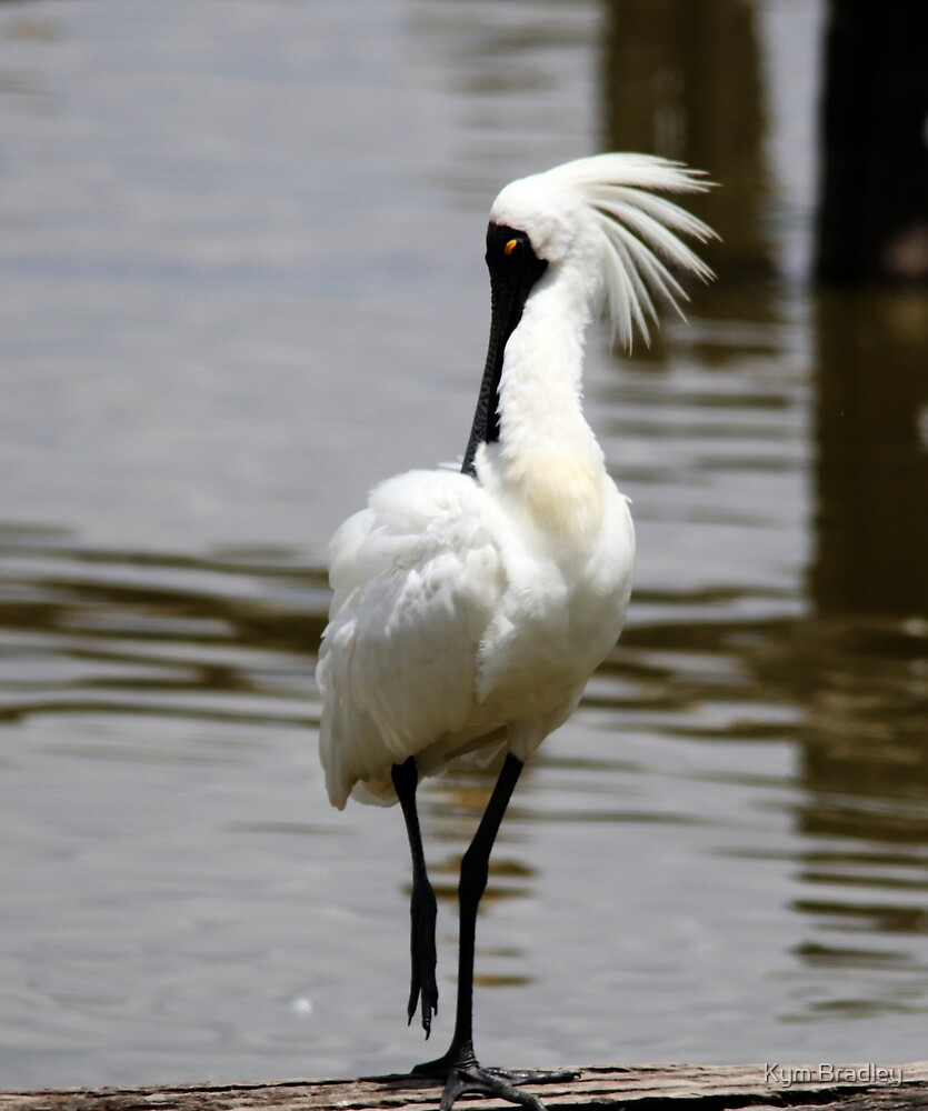Its All Natural  Royal Spoonbill by Kym Bradley